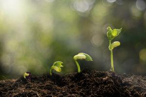 Stufenweise Entwicklung eines Samens